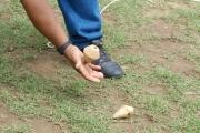 Juegos tradicionales llaneros: El juego de picar troya, los trompos son llevados desde la troya, golpeándolos con otro trompo, hasta un lugar establecido por los jugadores.